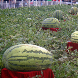 Egrow 30Pcs Giant Watermelon Seeds Black Tyrant King Super Sweet Watermelon Seeds Garden Fruit 1