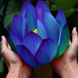 10Pcs Flower Seeds Blue Lotus Seeds Aquatic Plants Water Lily Plants Midnight Blue Lotus 1