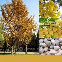 Egrow 5 Pcs/Pack Ginkgo Biloba Seeds Rare Maidenhair Tree Seed Strong Adaptability Garden Fruit Tree 1