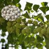 Egrow 5 Pcs/Pack Ginkgo Biloba Seeds Rare Maidenhair Tree Seed Strong Adaptability Garden Fruit Tree 2