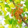 Egrow 5 Pcs/Pack Ginkgo Biloba Seeds Rare Maidenhair Tree Seed Strong Adaptability Garden Fruit Tree 3