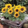 Egrow 20Pcs/Pack Sunflower Seeds Home Garden DIY Snack Flower Decoration Plants Bonsai 2