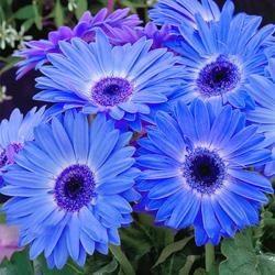 Egrow 100Pcs/Pack Gerbera Daisy Seeds Majorette Blue Halo Fragrant Bellis Flower Seeds 1