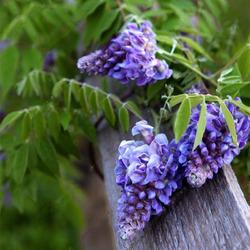 Egrow 10Pcs/Bag Garden Creepers Wisteria Seeds Rare Bonsai Tree Seeds Ornamental Plant Flower Seeds 1
