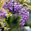 Egrow 10Pcs/Bag Garden Creepers Wisteria Seeds Rare Bonsai Tree Seeds Ornamental Plant Flower Seeds 2