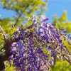 Egrow 10Pcs/Bag Garden Creepers Wisteria Seeds Rare Bonsai Tree Seeds Ornamental Plant Flower Seeds 5