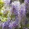 Egrow 10Pcs/Bag Garden Creepers Wisteria Seeds Rare Bonsai Tree Seeds Ornamental Plant Flower Seeds 6